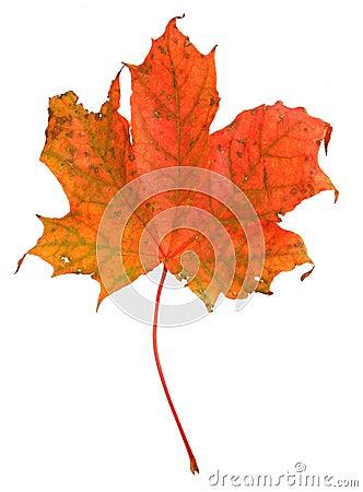 Free Maple Leaf Stock Photo - 3247250