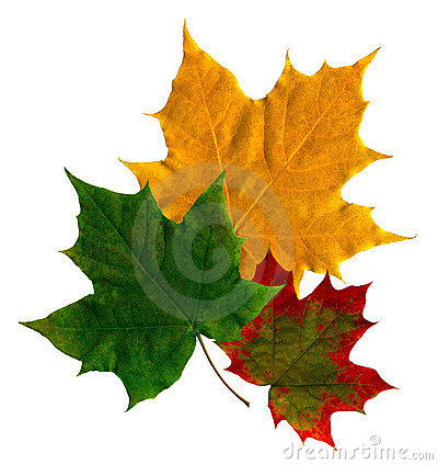 Free Maple Leaf Stock Images - 3788874