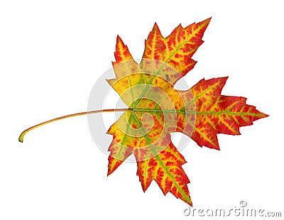 Maple leaf in autumn, Acer platanoides