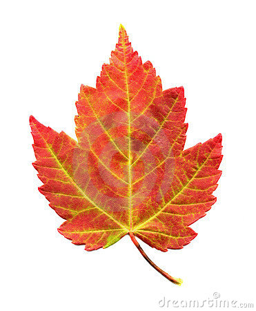Maple Leaf in Autumn Foliage