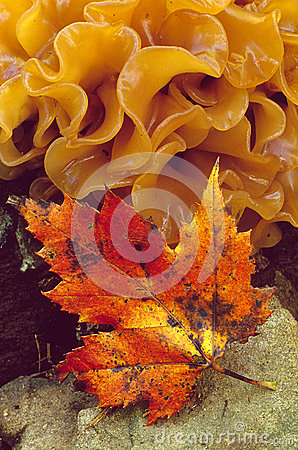 Maple leaf and Fungus