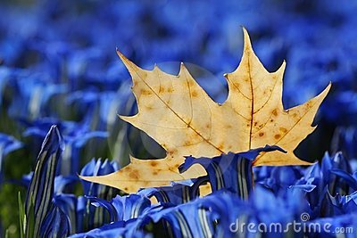 Maple leaf in gentians