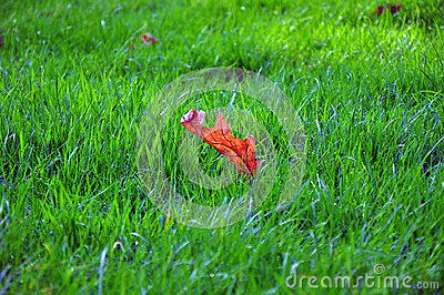 Maple Leaf On Green Grass Field Free Public Domain Cc0 Image