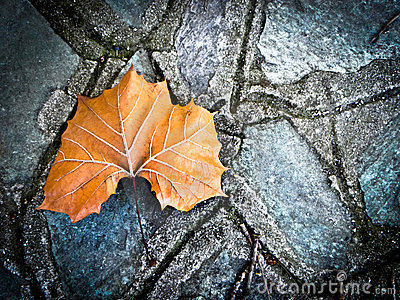 A maple leaf on the ground