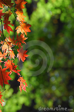 Maple leaf letter background