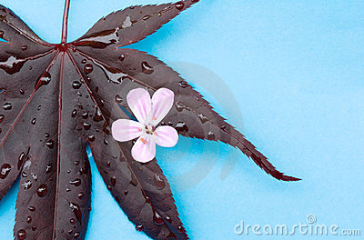 Maple leaf with pink flower on aqua