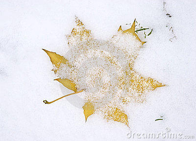 maple leaf under first snow