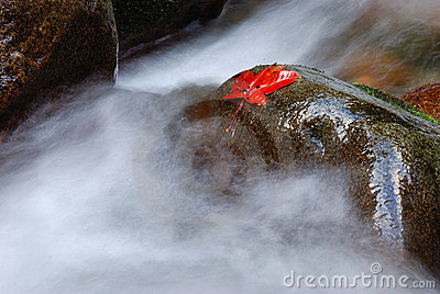 Maple leaf on wet rock