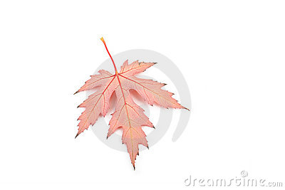 Maple leaf whith veins