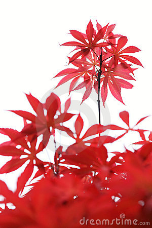 Free Maple Leaves Royalty Free Stock Image - 13980726