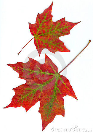 Free Maple Leaves Royalty Free Stock Photography - 287367