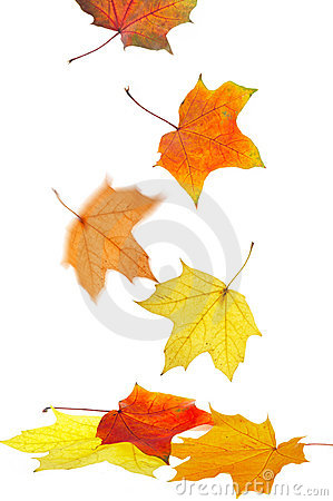 Free Maple Leaves Stock Images - 3266234