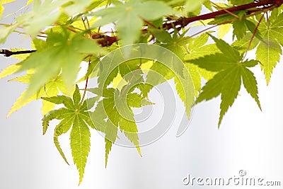 Maple leaves (Acer palmatum)
