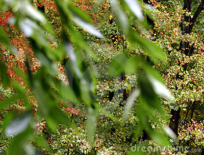 Maple Leaves Through Cherry
