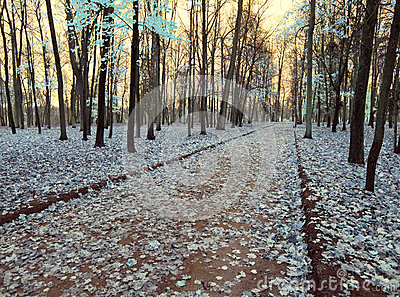 Maple leaves fall down and cover the ground, an infrared photo