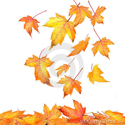 Free Maple Leaves Falling On White Stock Photography - 6789292