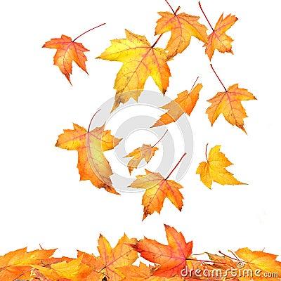 Maple leaves falling  on white