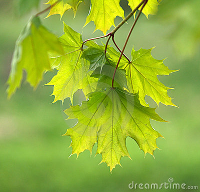 Maple leaves green