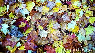Maple Leaves On Ground Close Up Photo During Daytime Free Public Domain Cc0 Image