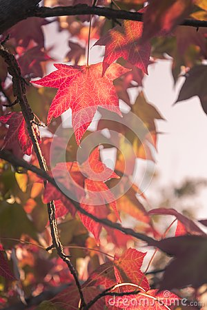Free Maple Leaves In A Warm Autumn Sunset Colors Light Stock Photos - 104044873