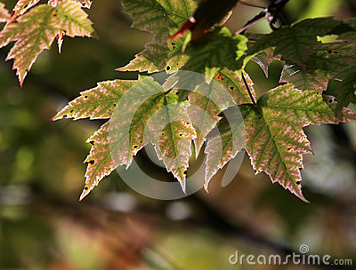 Maple Leaves Just Turning