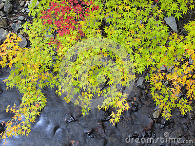 Maple leaves over stream in autumn