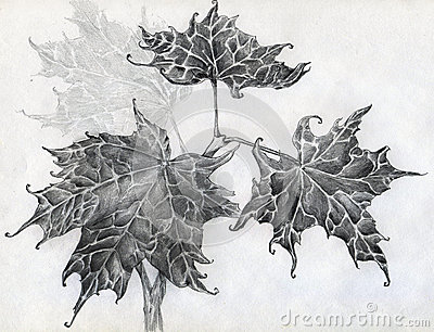 Maple leaves pencil sketch