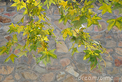 Maple Leaves and Stone Wall in Winter