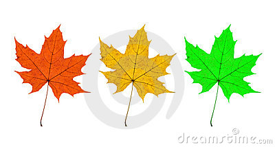 Maple Leaves Trio