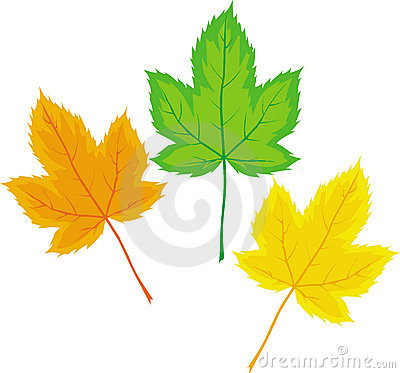 Maple leaves (Vector)