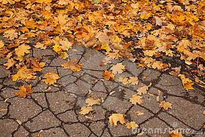 Maple and oak leaves on wet asphalt