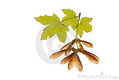 Maple seed and leaves