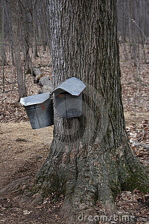 Maple sugar buckets