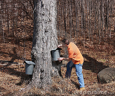 Maple Sugar Season
