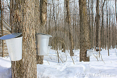 Maple syrup season.