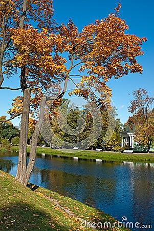 Maple tree in autumn park