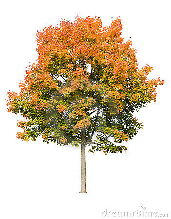 Free Maple Tree In Autumn Royalty Free Stock Photos - 6654308