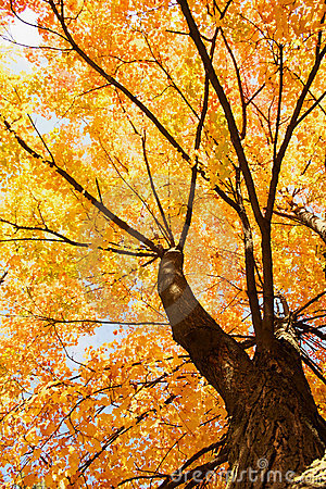 Free Maple Tree Landscapes Royalty Free Stock Images - 3564939