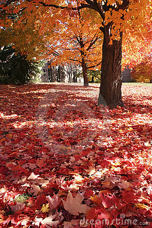 Maple tree and  maple leaves