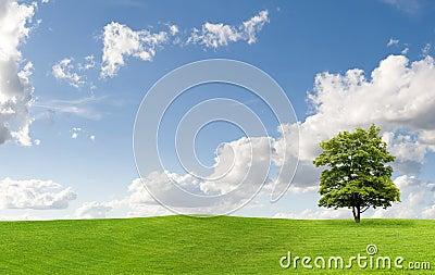 Maple tree on a meadow