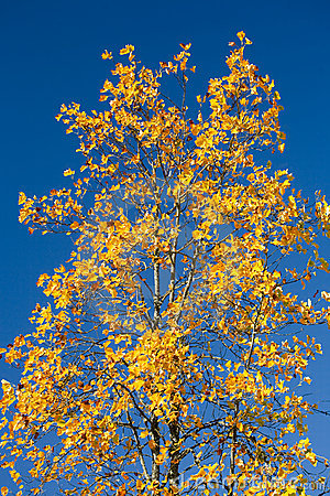 Maple Tree with Orange Leaves Against Blue Sky