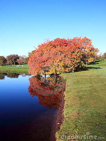 Maple tree reflection