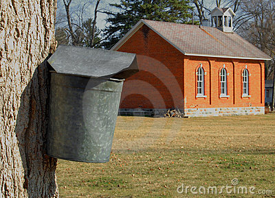 Maple tree with sap bucket