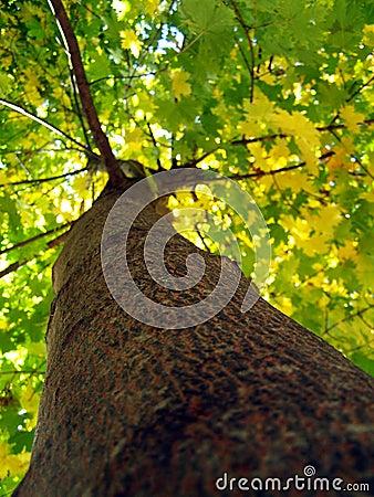 Free Maple Tree Trunk Royalty Free Stock Image - 3365806