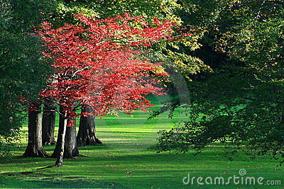 A maple tree turns fire engine red in the failing autumn light at a golf course.