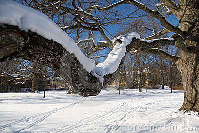 Maple tree in winter