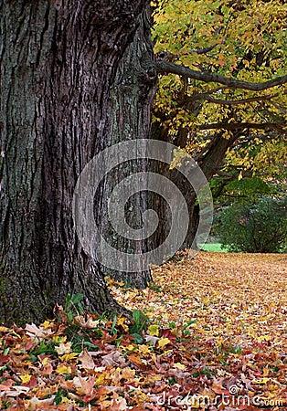 Maple trees.