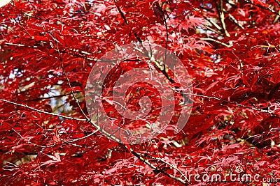 Mapple Tree during Autumn