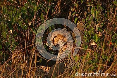 Mara cheetahs
