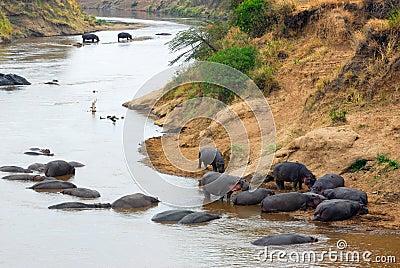 Mara river, hippopotamus. Kenya